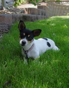 Rat terrier information pictures reviews and q amp a greatdogsite com