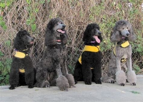 golden retriever vs standard poodle standard poodle rescue pa dogs in our photo