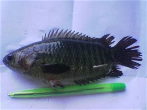 Ikan Asin Pepuyu iwak betik ikan betok ikan pepuyu ikan puyu papuyu