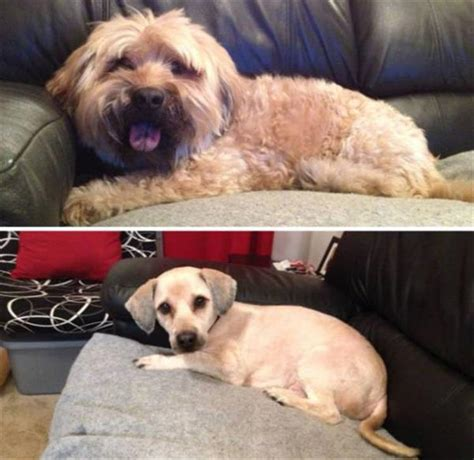 human hair dog cut pics dogs before and after their hair cuts are so adorable 27 pics