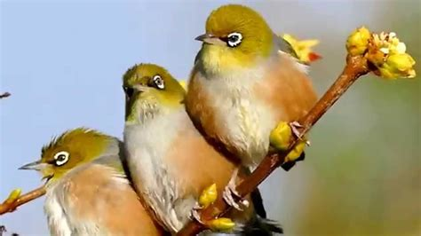 they use white eyeliner silvereyes nz birds youtube