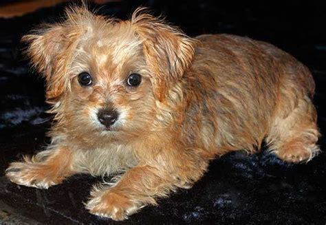 yorkie description yorkie poo puppy for sale in south florida