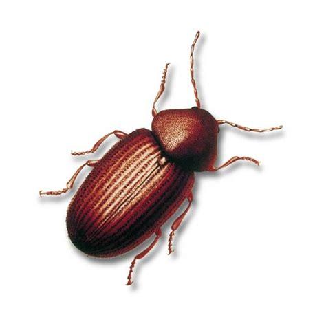 Rote Käfer Mit Schwarzen Punkten Im Garten