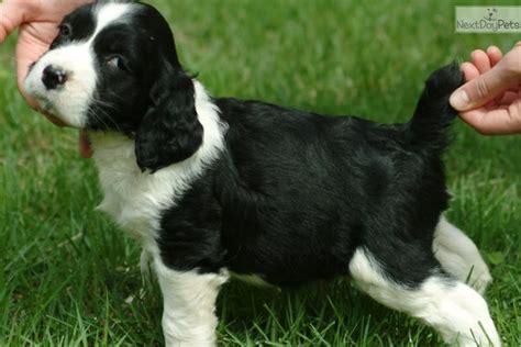springer spaniel puppies for sale near me springer spaniel puppy for sale near kansas city missouri db4a9a97 e501