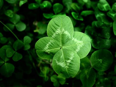 penn state extension philadelphia master gardeners phony shamrocks and fake four leaf clovers