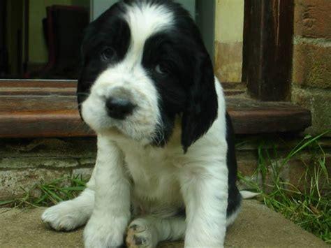 springer spaniel puppies florida las 25 mejores ideas sobre perritos australianos en venta en mini pastor