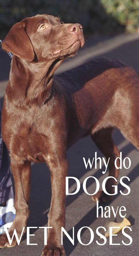 why do dogs their nose why are dogs noses and what do noses