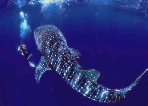 dive with whale sharks swimming with whale sharks in seychelles travel the world
