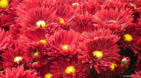 flowers by color color chrysanthemum flowers photograph 171 wallpaper tadka