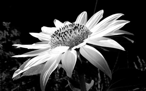desktop wallpaper black and white flowers black and white flowers wallpaper 22 background wallpaper