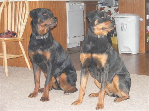 what are rottweilers breeds the different types of rottweilers