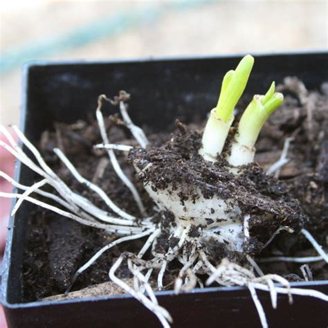 7 vegetables you can regrow 10 tasty vegetables you can regrow from your own kitchen