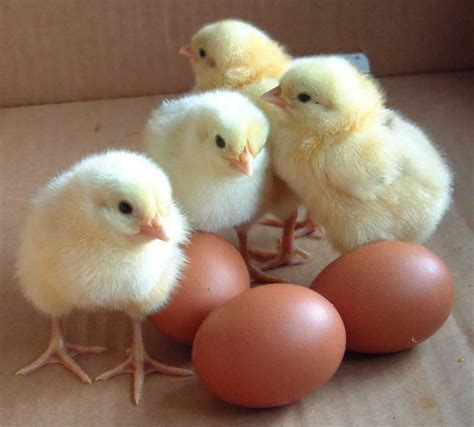 Baby Chicken quotes about baby quotesgram