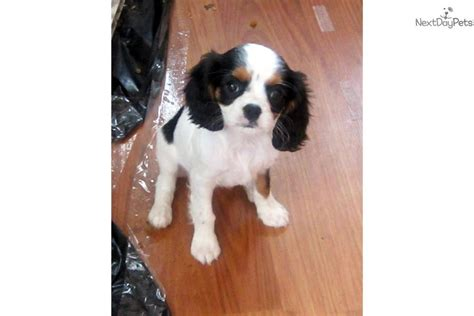 king charles cavalier puppies for sale near me cavalier king charles spaniel for sale for 1 250 near dallas fort worth