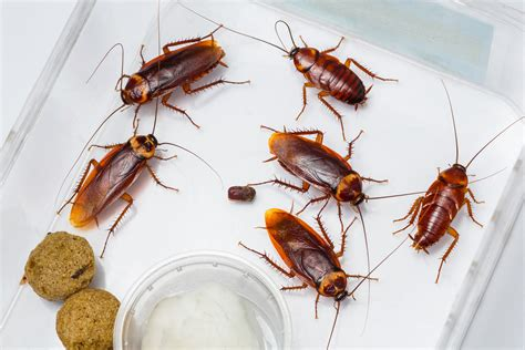 Kitchen Cabinets In Florida by What Do Cockroaches Eat And Where Do They Live When There