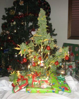 marijuana christmas tree pics marijuana tree zadymiony kącik