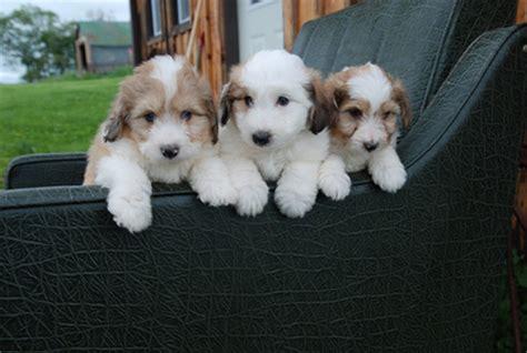 shih tzu sheltie mix sheltie poodle mix puppies shih tzu poodle bichon mix breeds picture