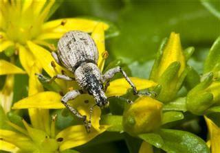 weevil bugs     rid