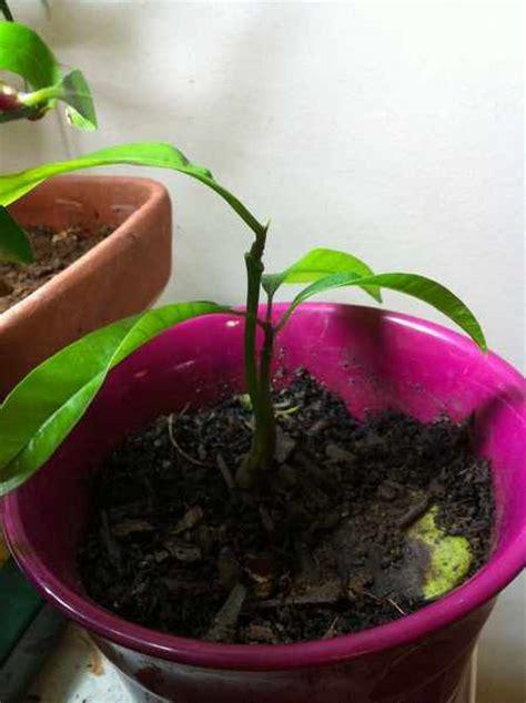 pianta di mango in vaso come coltivare il mango in vaso a partire dal seme greenme