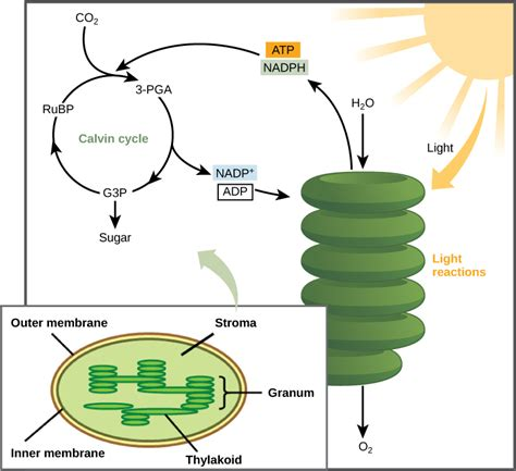 Where Does Light Dependent Reaction Take Place by The Calvin Cycle Biology I