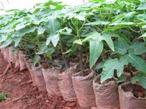 Bibit Jagung Manis Paling Unggul cara pembibitan pepaya tanaman bunga hias