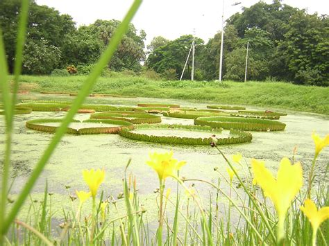Indian Botanical Garden with Indian Botanical Garden File Indian Botanical Gardens Jpg Indian Botanical Garden Howrah