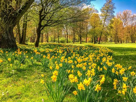 Bilder Narzissen by Free Photo Daffodils Osterglocken Park Free Image On