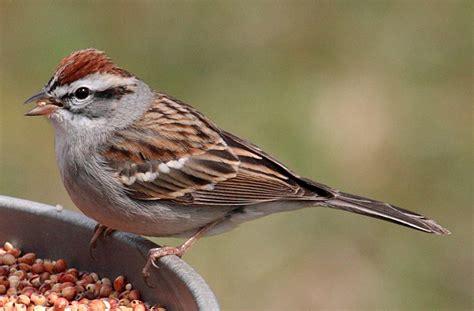 chipping sparrow birding pinterest