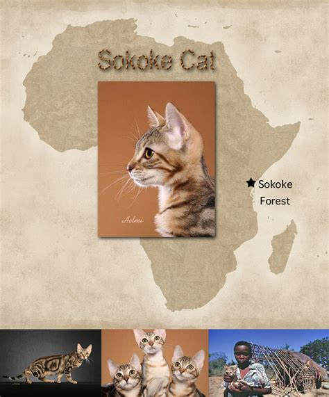 Sokoke Cat Facts For Kids