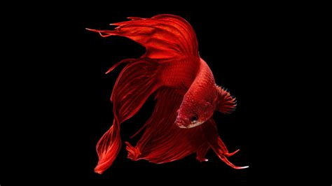 halfmoon betta wallpaper    perfect red halfmoon