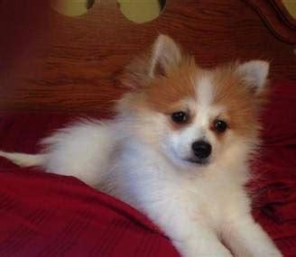 pomeranian white and brown brown and white pomeranian www pixshark images galleries with a bite