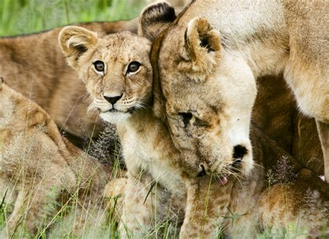 lion s file lion cub with mother jpg wikipedia