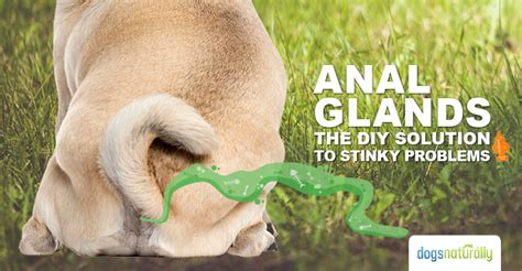 how to clean a dogs glands glands the diy solution to stinky problems dogs naturally magazine