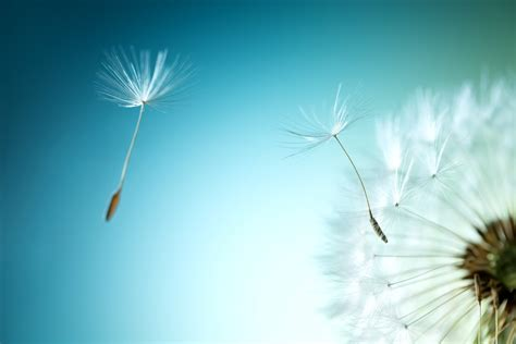 wallpaper dandelion flower dandelion seeds hd