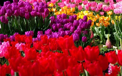 hd tulip garden wallpaper
