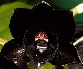 black orchid tips to grow black orchids orchid flowers
