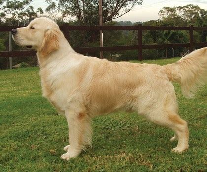 golden retrievers brisbane golden retriever club nsw show sydney