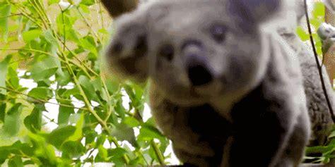 imagenes animadas koala 13 koalas that will make your week way cuter