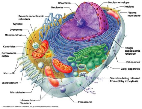 cell diagram labeled introduction to biology molecules and cells cells