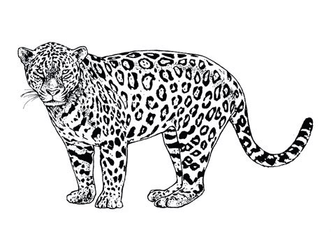 imagenes de bebe jaguar para colorear coloriage animaux sauvages les beaux dessins de