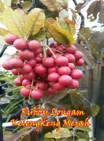 Bibit Kelengkeng Ruby Longan budidaya tabulot kelengkeng merah atau ruby longan
