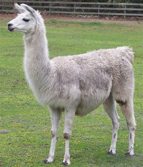 imagenes animales llamas i am a cute little llama i am a cute little llama