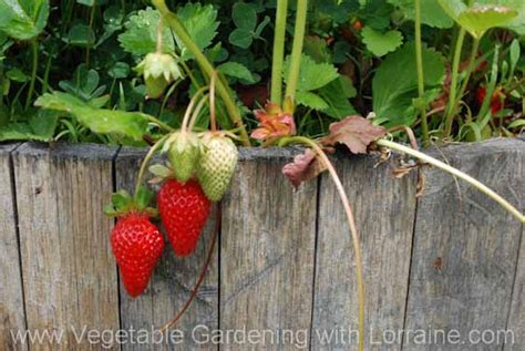 growing strawberries in raised beds growing in a raised strawberry bed