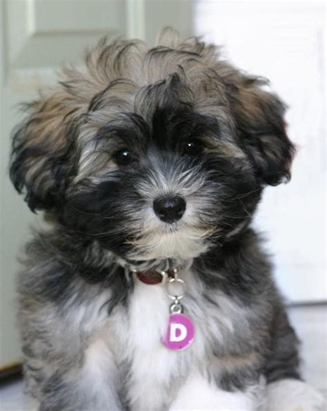 gray havanese havanese puppy in white black and grey colors jpg 1 comment hi res 720p hd