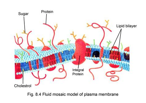 protein lipid ratio erythrocyte membrane cell membrane aglasem schools