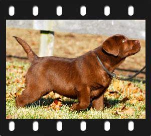 golden retriever puppies for sale miami golden retriever x labrador retriever puppies for sale philippines breeds picture