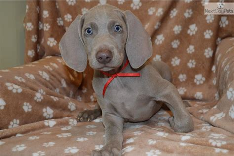 free puppies in illinois free puppies in southern illinois breeds picture