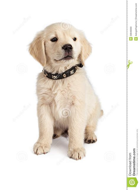 golden retriever collars golden retriever puppy spiked collar stock photo image 39848300