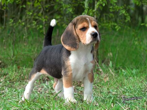 breeds by size beagle breed guide learn about the beagle