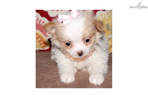 chion pomeranian breeders japanese chin puppy for sale near texoma 177b5815 f201